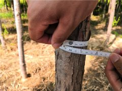 6公分高接金叶榆种植基地实拍