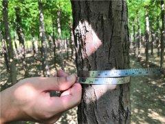 9公分发冒白榆培育种植