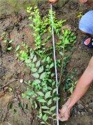 1.2米及以上地接金叶榆产